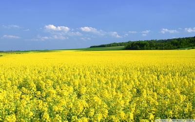 mustard_flower_field-wallpaper-1920x1200_resize
